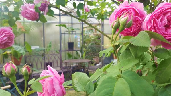 Rose Gewächshaus