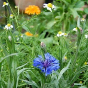 Bio Sommerblumen