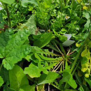 Bio Landschildkröten-Futterpflanzen